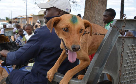 A Makueni resIdent carries his dog after vaccination last year during the World Rabies Day Photo:Standard Digital News