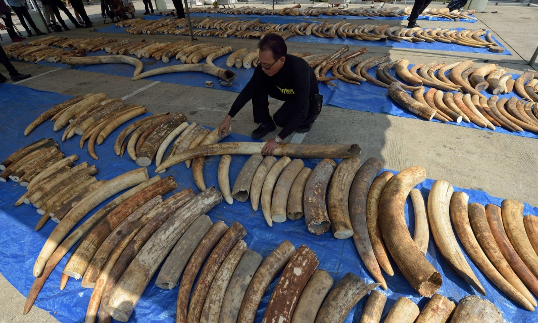 Thai Govenment Official inspects ivory shipped from Mombasa Photograph: Pornchai Kittiwongsakul/AFP/Getty Images