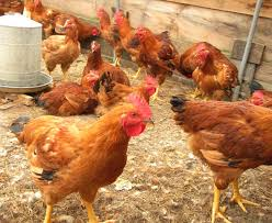 Indigenous Chicken Photo:Google