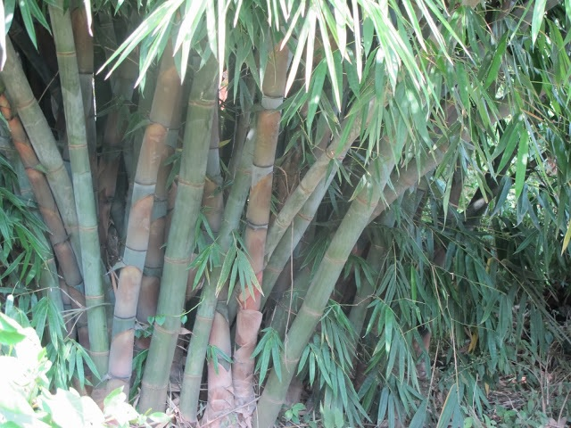 A Giant Bamboo plant at a farm in Njoro. The bamboo can be used to reclaim polluted rivers. [Photo: Njenga Hakeenah]