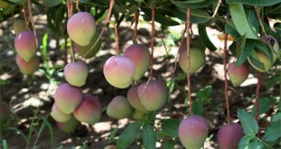 A mango tree. The fruit is changing fortunes for farmers in Makueni. [Photo: Malachi Motano]
